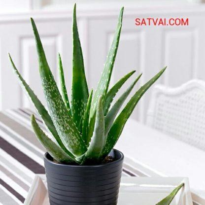 Aloevera Plants