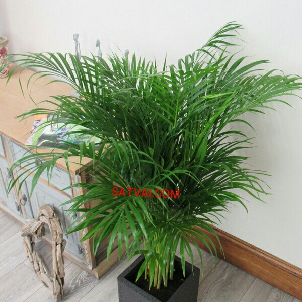 Areca Palm Plant Home Delivery In Bangladesh Indoor Plants