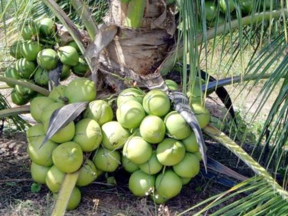 Vietnam Coconut Tree Plant