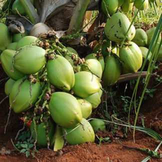 Hybrid Coconut-plant