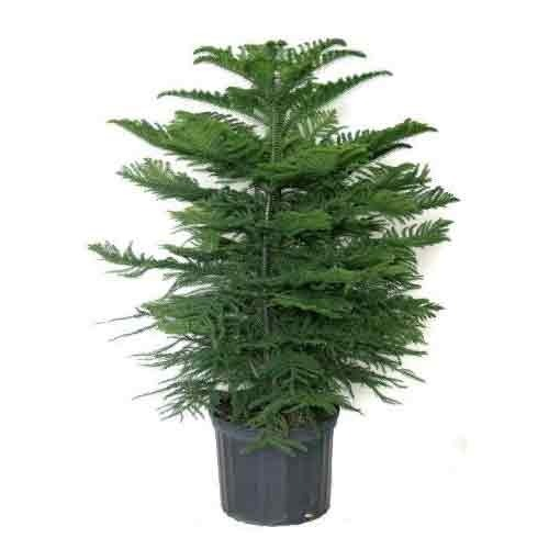 Christmas Tree Plant Home Delivery In All Bangladesh