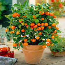 Malta Fruit Plant