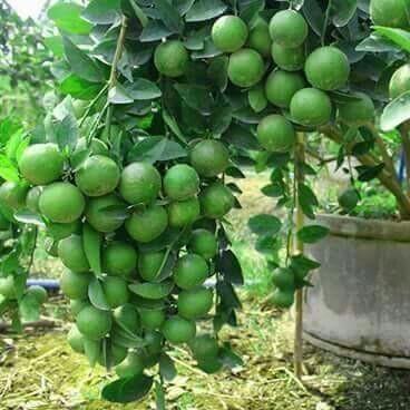 Lemon Plant Thai