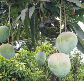 bari 4 mango