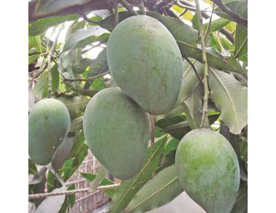 Haribhanga Mangoes Plant