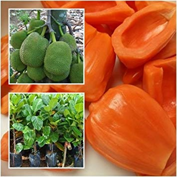 red jackfruit