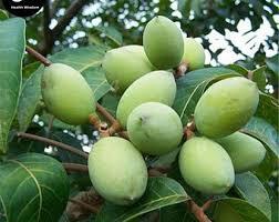 olive tree plant