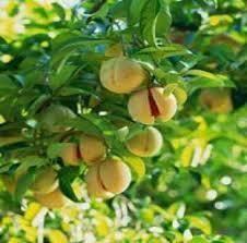 Jayfol Tree Plant - Spice