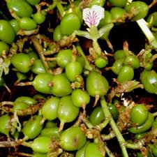 White Elach Plant - Spice