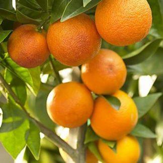 chatoki sweet orange