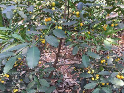 baraba fruit tree