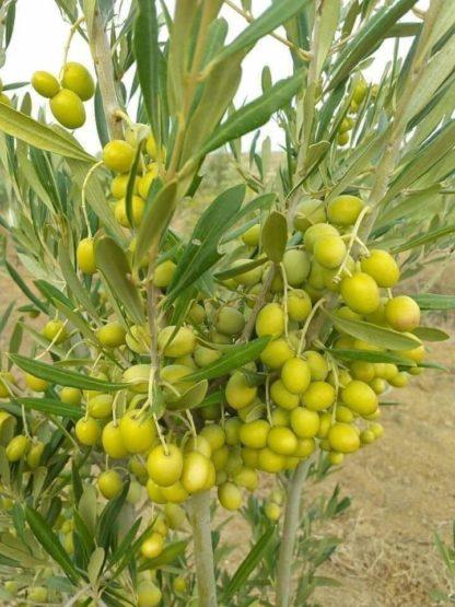 zaitun fruit