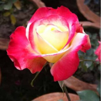 kushum colour rose