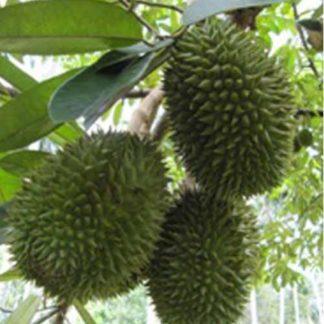 Malaysian Durian Tree Plant