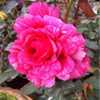 Tajmohol Rose Plant