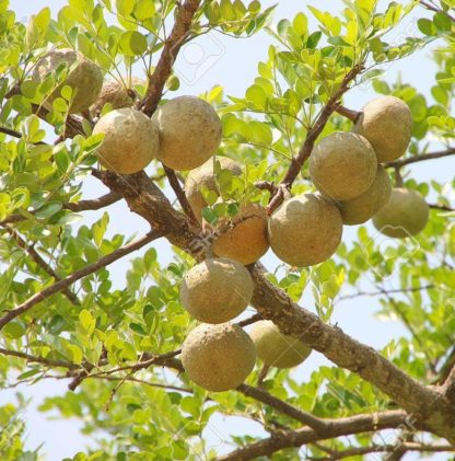 Thai Bael Fruit Tree
