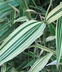 vericat bamboo