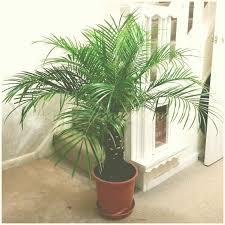 phonix palm