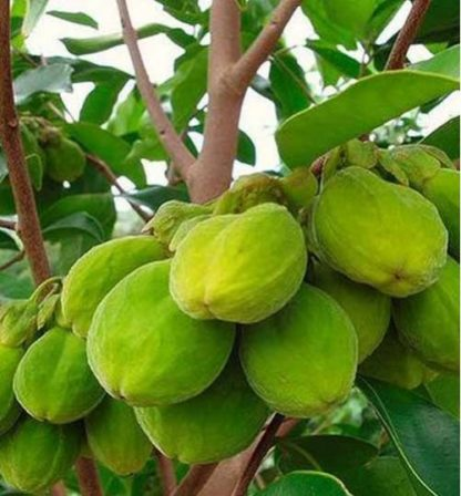 Agor Tree Plant