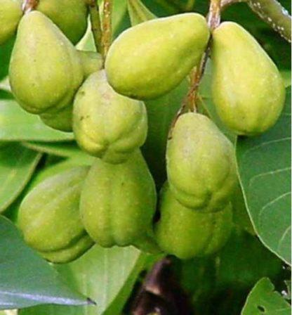 bahera tree plant