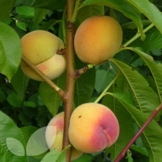 apricot fruit tree