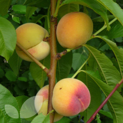 apricot fruit tree