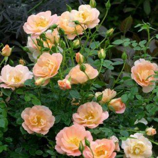 hazari rose