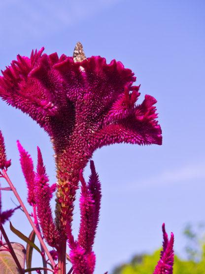 morog flower