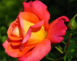 changer rose