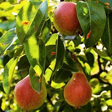 nashpati fruit
