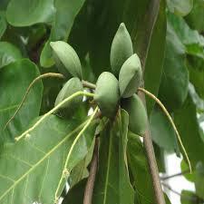 almond tree