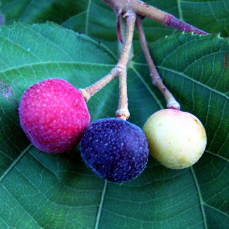 phalsa fruit