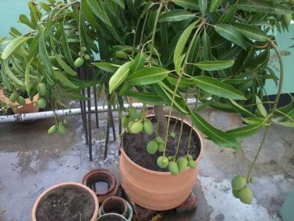 china drop mango