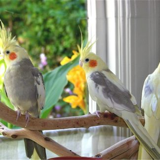 cockatiels birds