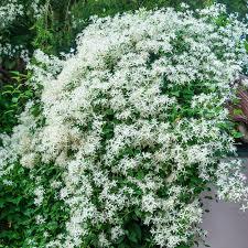 Aromatic Jui Flower
