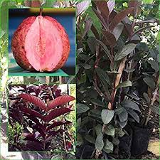 Red Tree Guava