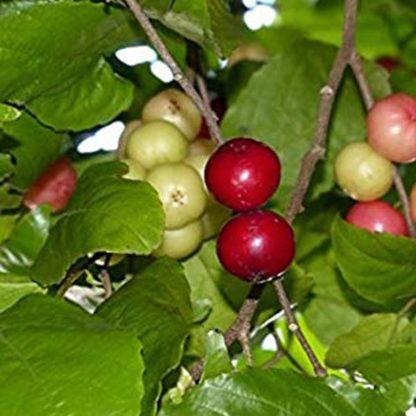 Love Louvi Fruit Plant