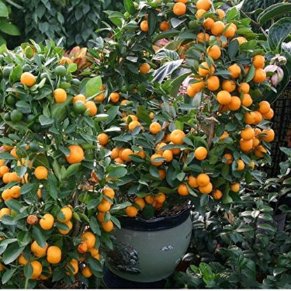 China Orange Tree