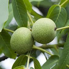 akhrot fruit